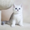 英国短毛猫_英国短毛猫图片_英国短毛猫价格—猫咪交易网
