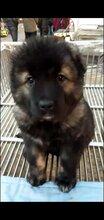 广州哪里有卖高加索犬在广州高加索犬一只多少钱图片