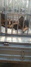 成年德國牧羊犬價格三個月德國牧羊犬多少錢牧羊犬小狗賣的圖片