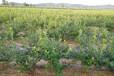 丹東藍莓苗