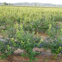 丹东蓝莓苗图片