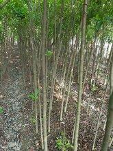 批发3公分杜英、高280公分、冠80、江西杜英苗木