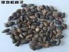 大量供应湿地松种子/湿地松种子批发/湿地松种子价格