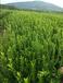 批发供应地径2公分桔子树/2公分桔子树价格