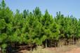 优质湿地松批发/供应8公分湿地松/湿地松价格