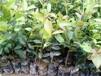 地径1公分油茶树批发/供应1公分油茶树