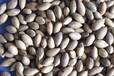金丝楠木种子批发/楠木种子价格/供应楠木种子