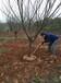 供应地径5公分樱花树/5公分樱花批发价格