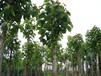 供应地径2公分喜树/2公分喜树批发/江西喜树价格