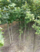 地径6公分枫香树批发/供应6公分枫香/6公分枫香价格