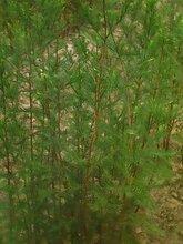 低价供应池杉小苗/50公分高池杉小苗批发价格