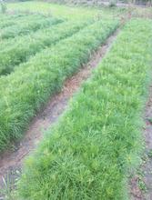 大量供应60公分高湿地松小苗/60公分湿地松小苗批发价格