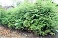 批发供应60公分高水杉小苗/60公分水杉小苗价格