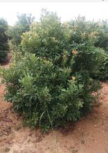 地径10公分杨梅树批发价格/供应10公分杨梅树