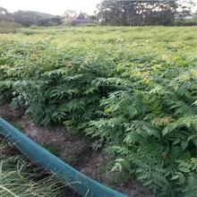 地径0.8公分黄连木小苗高80公分黄连木苗
