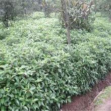 高70公分香樟小苗地径0.7公分香樟小苗