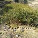 地径0.7公分红豆杉小苗叶色好易成活