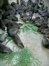 广东养殖场批量出售养殖海狸鼠图片