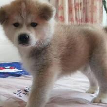 重慶哪兒有秋田犬?出售秋田幼犬,重慶地區可上門看貨。圖片