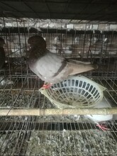 北京肉鴿養殖場圖片