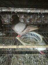 北京肉鸽养殖场图片