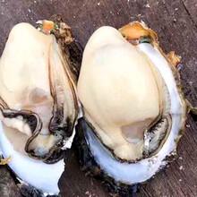 湛江生蚝产地直销珠海生蚝批发亿鲜湛江生蚝图片