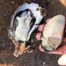 駐馬店生蠔批發湛江生蠔批發3一4兩鮮活牡蠣帶殼生蠔圖片