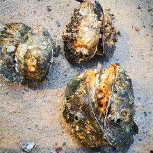 蘇州生蠔批發2一3兩湛江生蠔400元件生蠔批發貨源廣東牡蠣圖片
