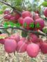红肉苹果苗报价图片