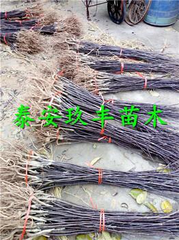天津哪里嫁接梨树苗、水晶梨苗适应的品种