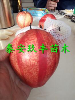 广东揭阳2年梨树苗、酥梨苗报价