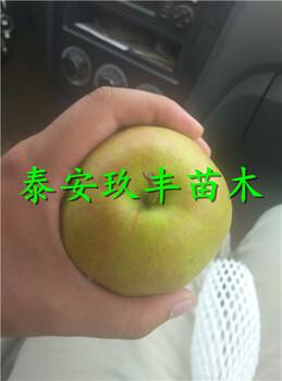 广东汕尾1公分梨树苗、八月酥梨苗哪里有基地