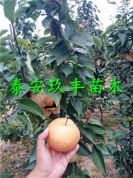 晚秀梨树苗好品种价格、1年梨树苗好品种价格