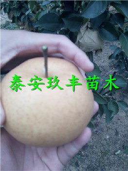 内蒙古乌兰察布1公分梨树苗、玉露香梨树苗好品种价格