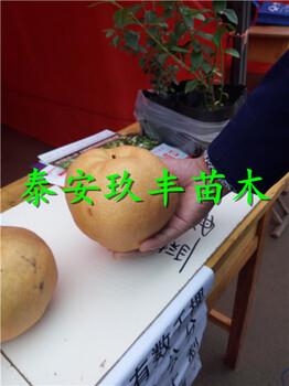 大果水晶梨树苗嫁接技术、1年梨树苗嫁接技术