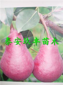 安徽宿州1年梨树苗、七月酥梨树苗供应价格