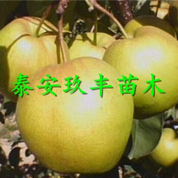 云南大理1年梨树苗、梨苗多少钱能买
