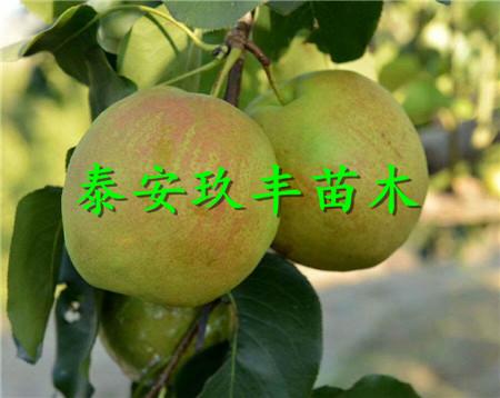 四川甘孜1年梨树苗、中熟梨苗适应的品种