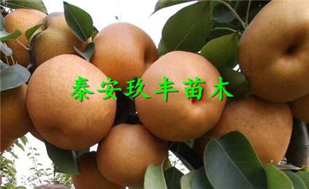 江蘇常州新品種梨樹苗、早酥紅梨苗才賣多少錢