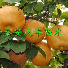 广西贵港2年梨树苗、爱宕梨苗哪里有基地图片