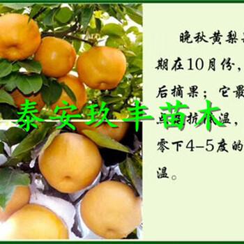 脆冠梨树苗