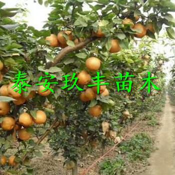 湖南岳陽3年梨樹苗、晚秀梨樹苗價格多少