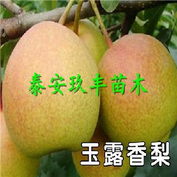 辽宁铁岭哪里嫁接梨树苗、奥红一号梨树苗适应的品种