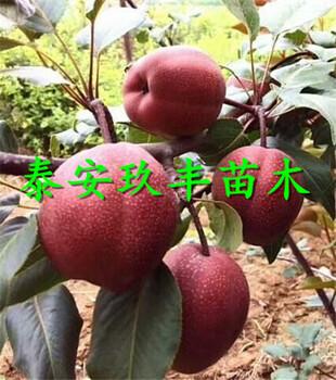 全红梨树苗