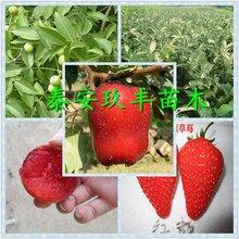 湖北1公分都克蓝莓苗今年价格图片