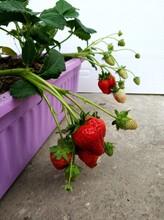 赛娃草莓苗批发、赛娃草莓苗基地图片
