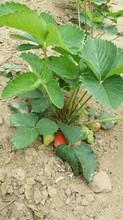 红玫瑰草莓苗价格、红玫瑰草莓苗基地图片
