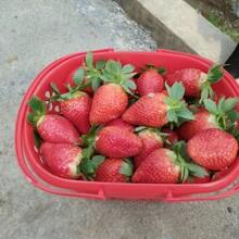 法兰地草莓苗价格、法兰地草莓苗基地图片