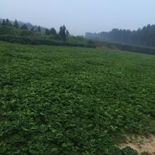 牛奶草莓苗价格、牛奶草莓苗基地图片