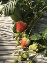 晚熟草莓苗价格、晚熟草莓苗基地图片